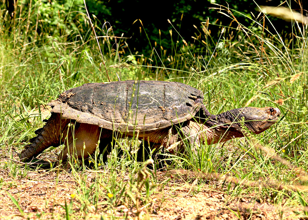 Snapping Turtle walking
