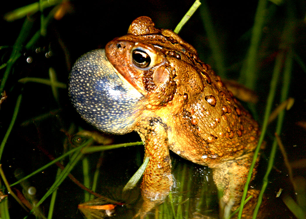 American Toad singing
