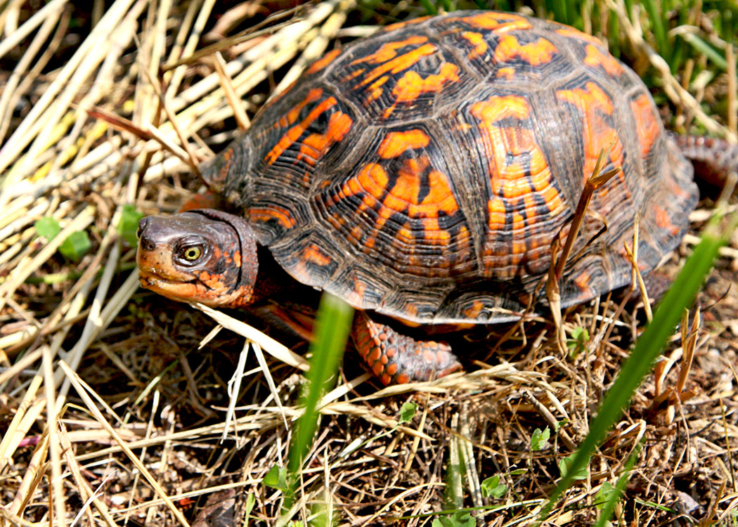 Male Box Turtle— American Toad— (Bufo Americanus) identified by its yellow eyes