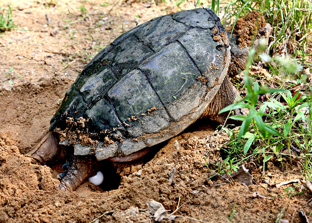 Female Snapping Turtle laying her eggs— usually about 20 eggs in a sunny upland area of soft dirt
