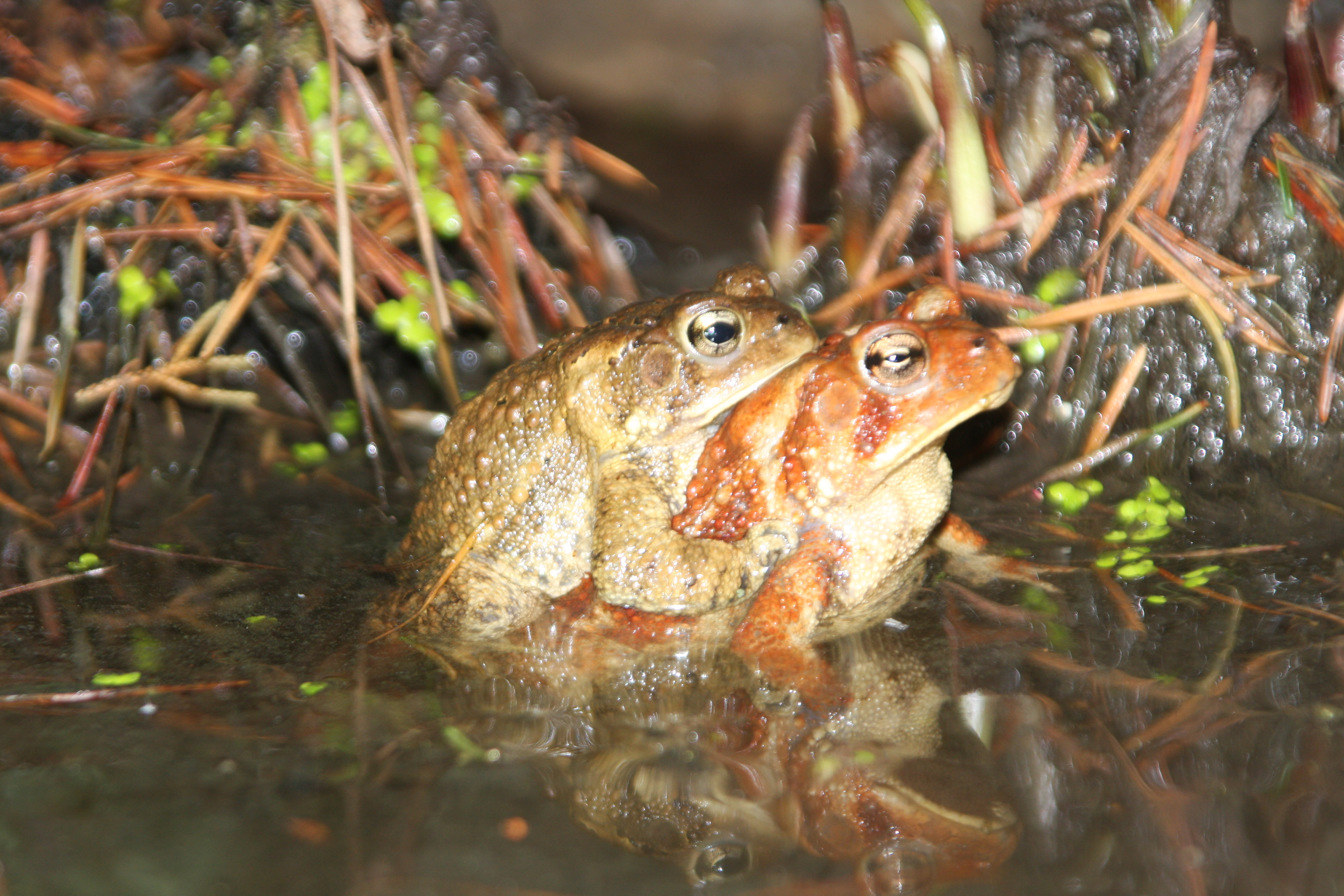 American Toads mating